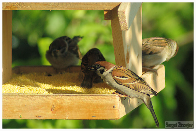 little birds eating grain