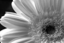 close-up of the gerbera
