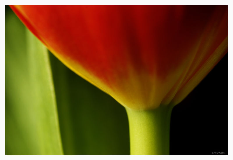 macro of red tulip