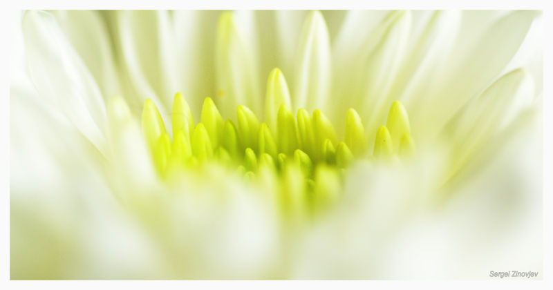 macro capture of gerbera