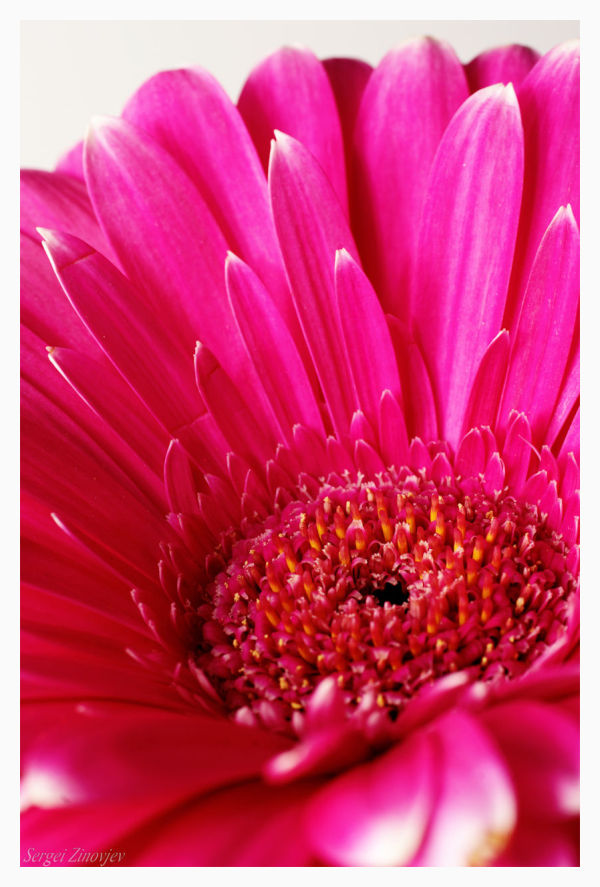 close-up of the pink gerbera