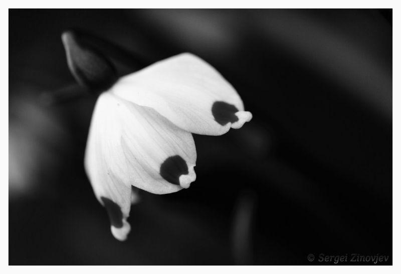 close-up of snowdrop flower