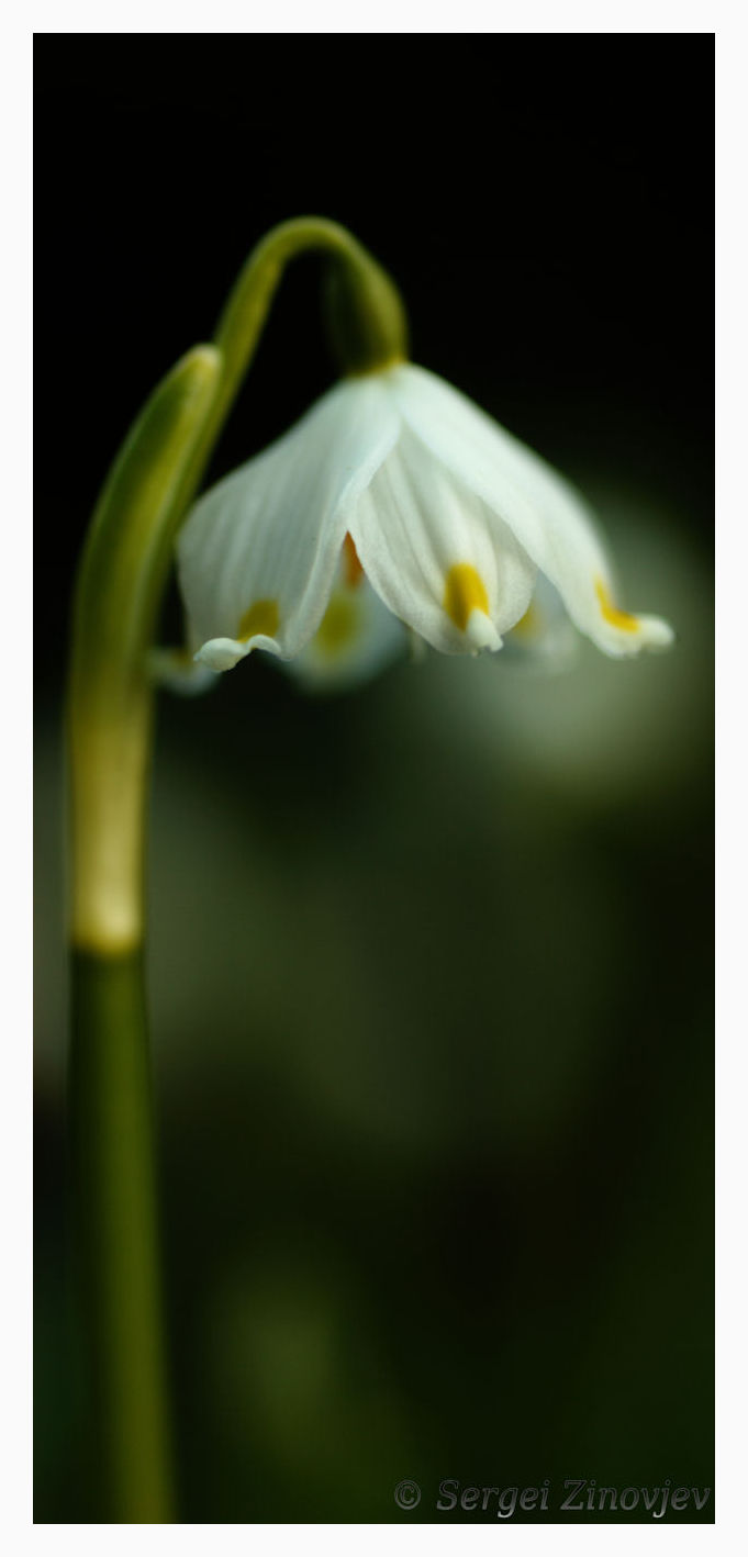 close-up of snowdrop flower