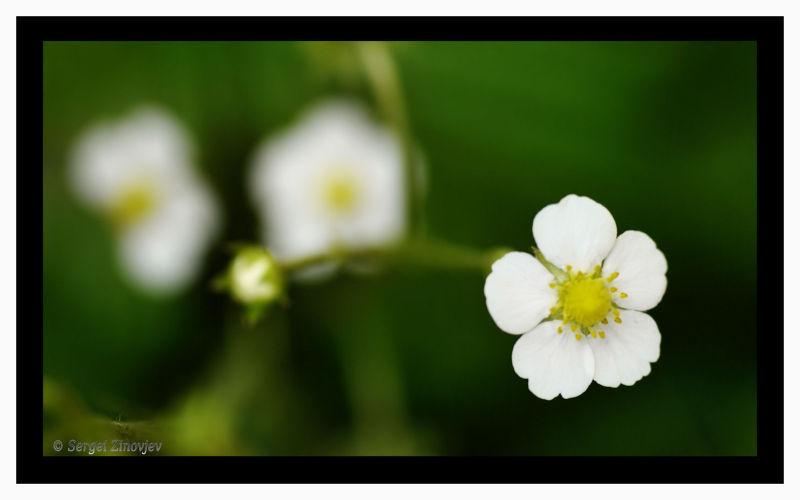 close-up strawberry flowers