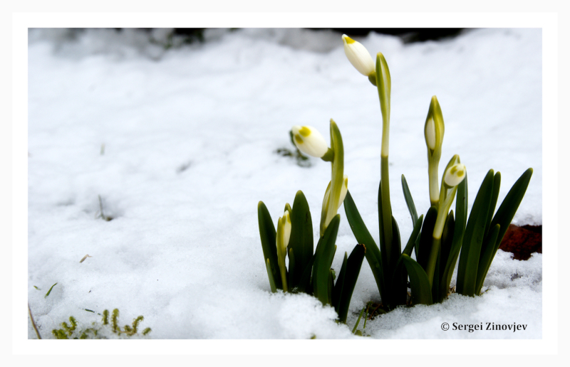 close-up of snowdrops