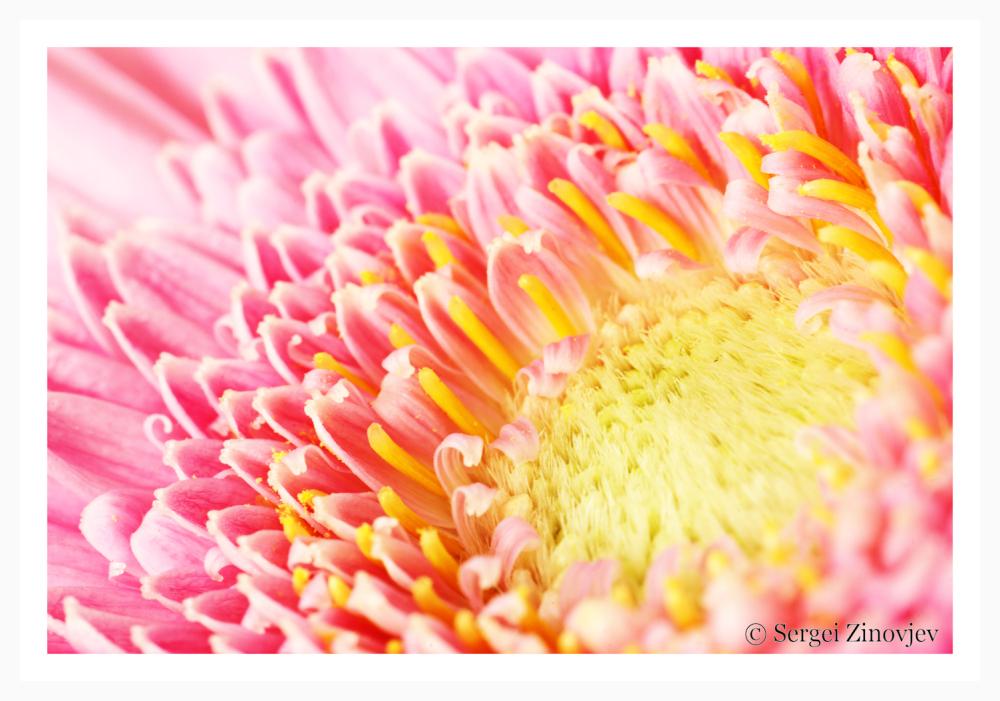 macro capture of pink gerbera