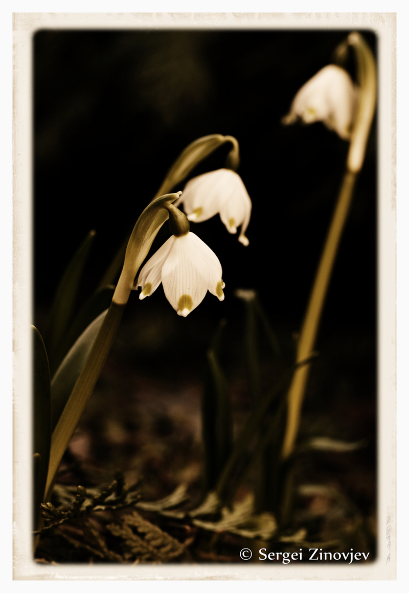 snowdrops outside