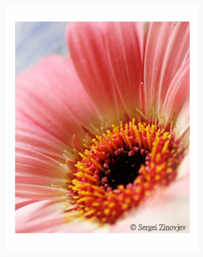 macro shot of pink gerbera