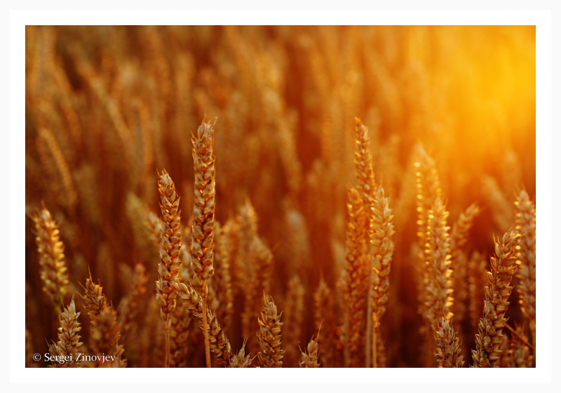 wheat in golden sun light