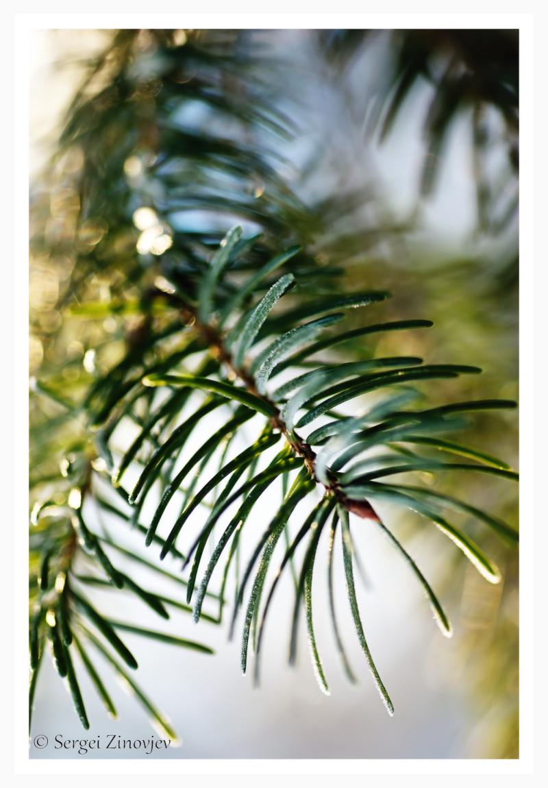 close-up of pine brunch