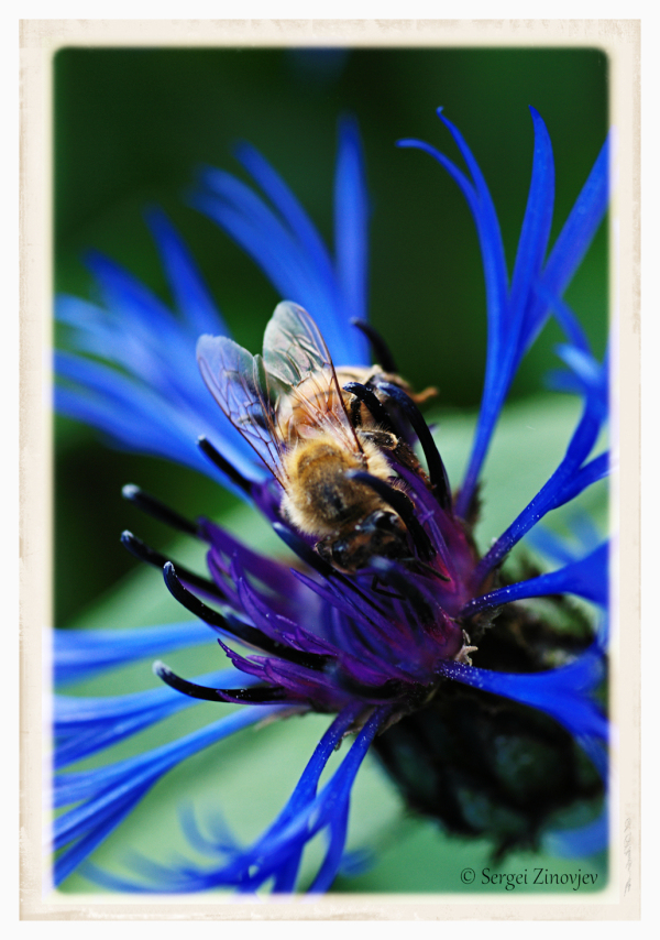 close-up of bee on cornflower