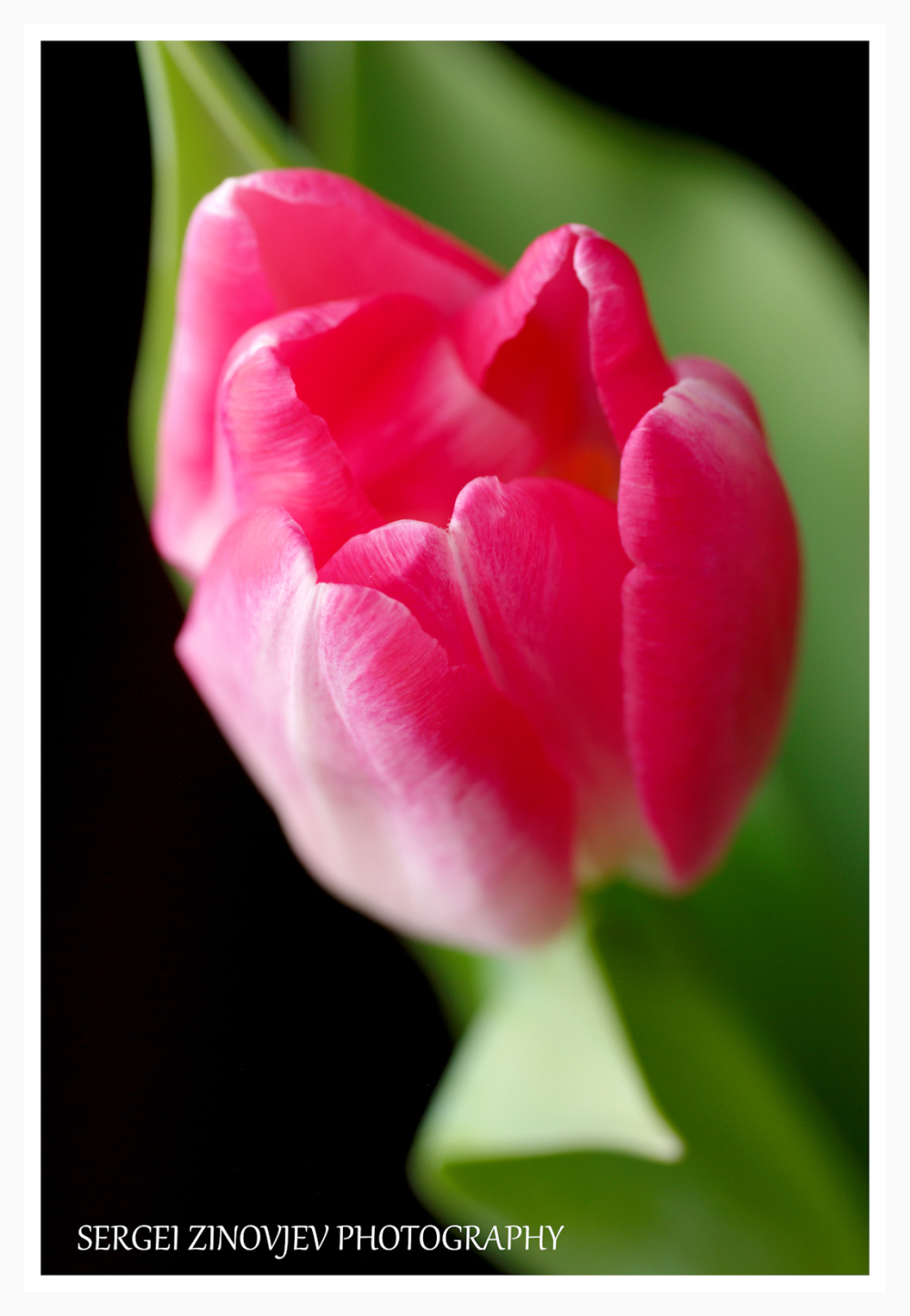 close-up of pink tulip with dark background