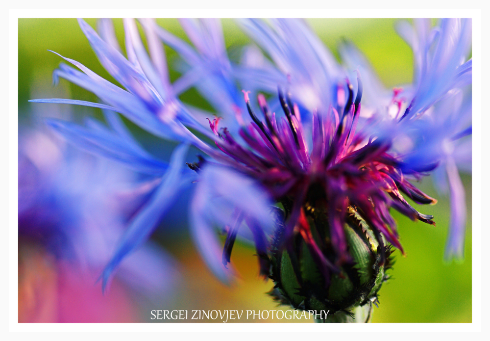 close-up of cornflower