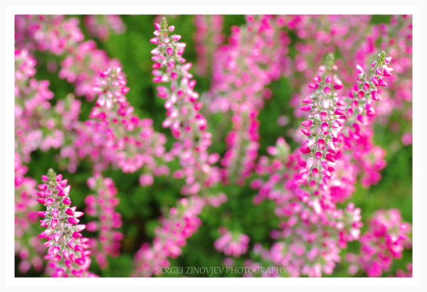 close-up of pink calluna