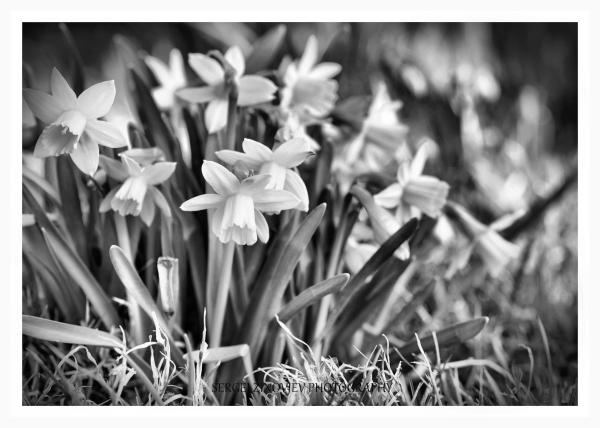 daffidils in garden