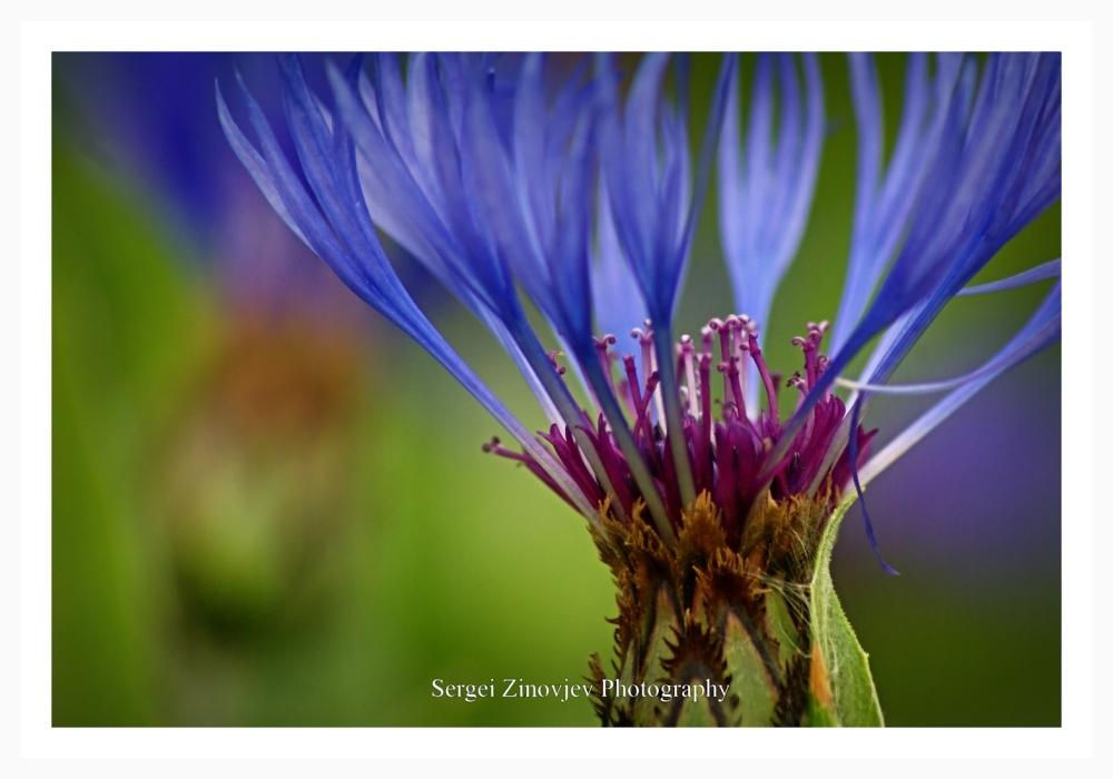 close-up og cornflower