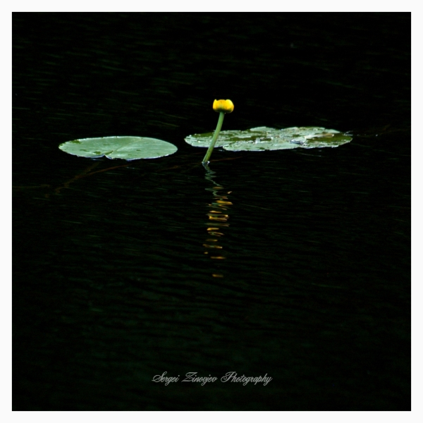 nuphar in the water