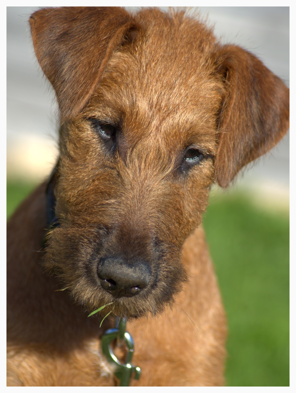 Portrait of Irish Terrier puppy