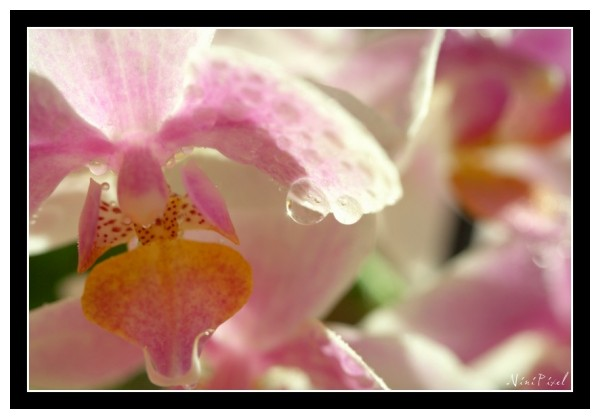 Orchidee and drops