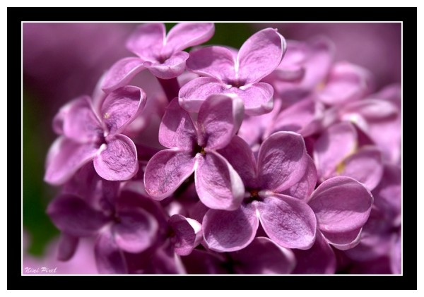 Littles flower of pink lilac