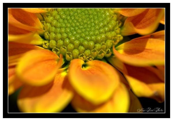 Little cute chrysanthemum...
