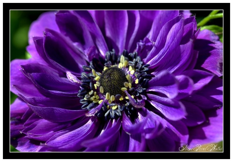 An another anemone...
