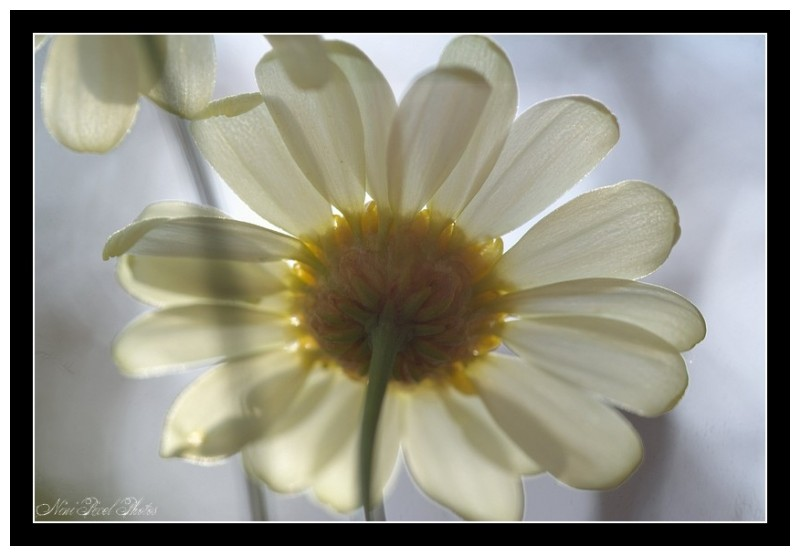 A small Marguerite...