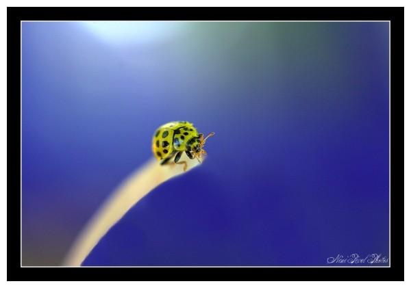 A yellow ladybird...