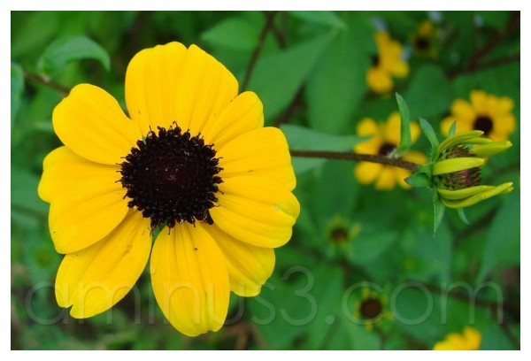 Wildflower: black-eyed susan