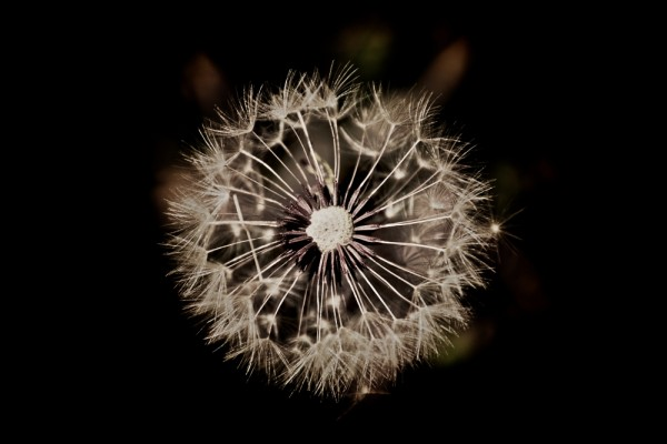 top view of a dandelion