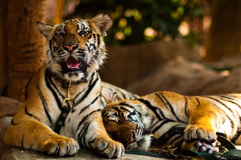 The Plight of the Tigers in Tiger Temple