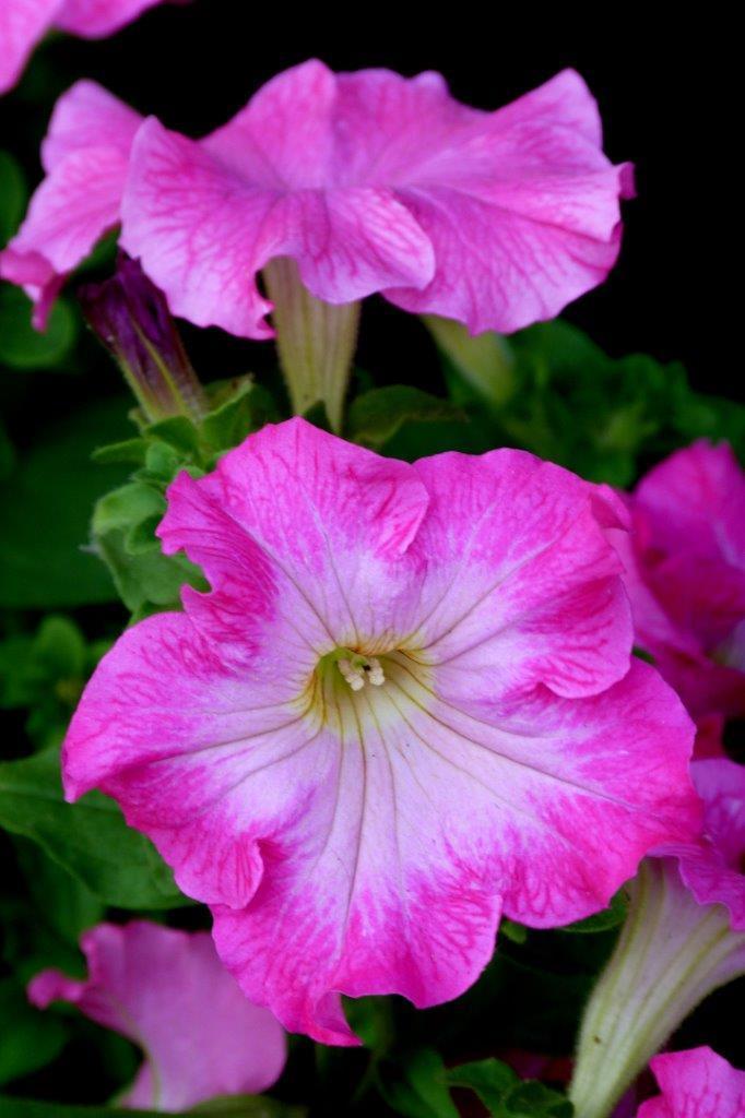 Petunias rose bonbon