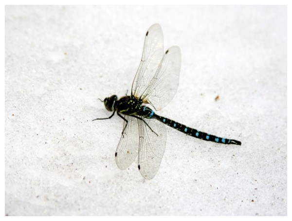 Snow Dragonfly