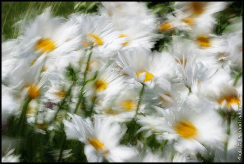 La valse des marguerites - Daisies waltz