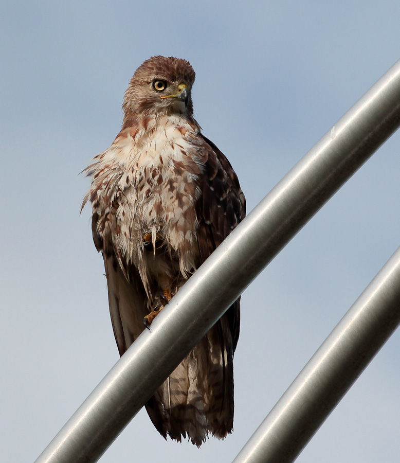 Red tailed hawk on a streetlight