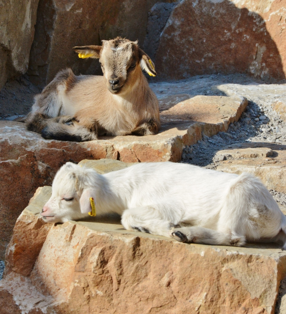 sleepy goats