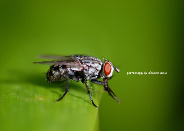 A flesh fly