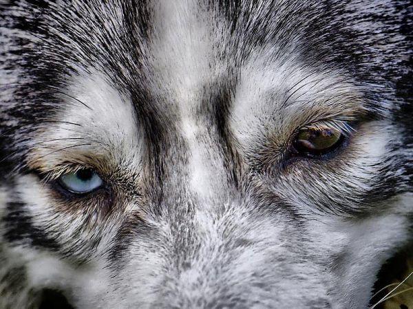 A siberian husky