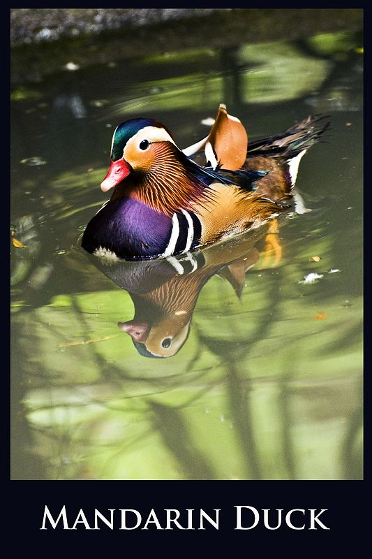 A mandarin duck