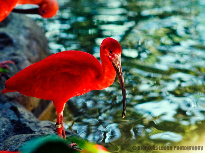 A red water bird