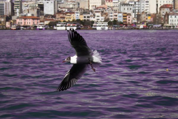 seagull series, Istanbul