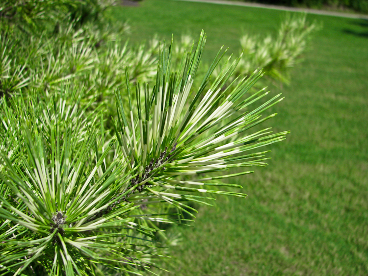 White-green Pine