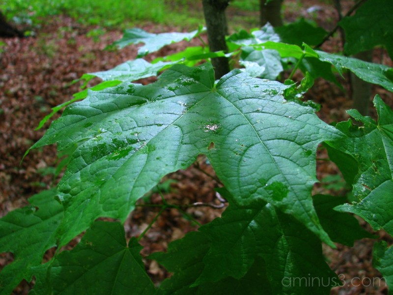 First drops of rain on leaves.