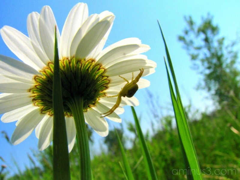 Spider hides below daisy...