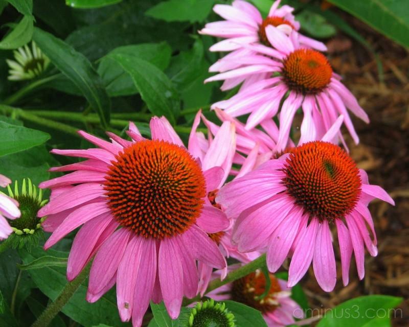 echinacea flowers garden