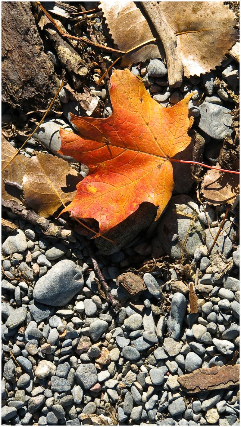 Maple leaf lying on stone beach.
