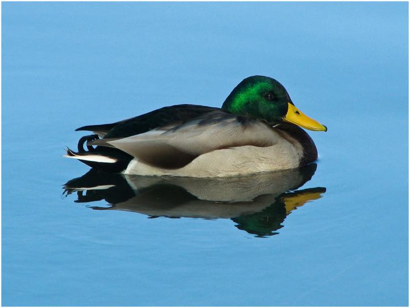 Male mallard duck on blue water.