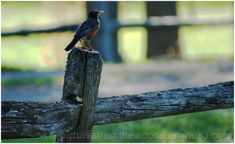 Robin sitting on fence.