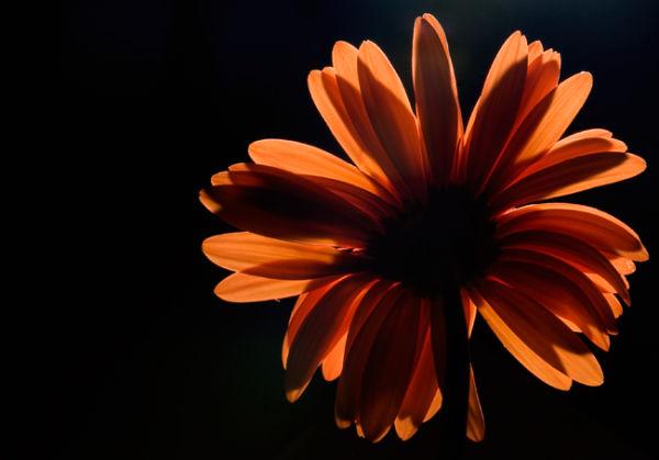 Flower Red Backlit