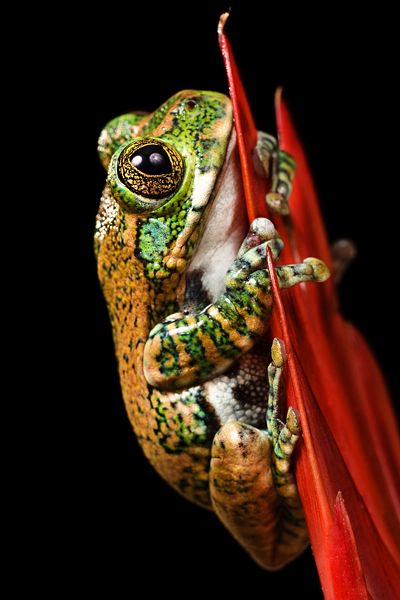 peacock tree frog